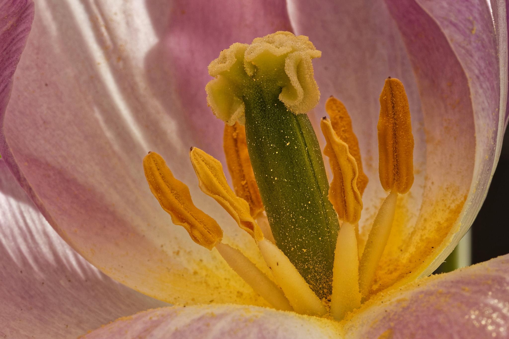 Innenansicht einer Tulpe