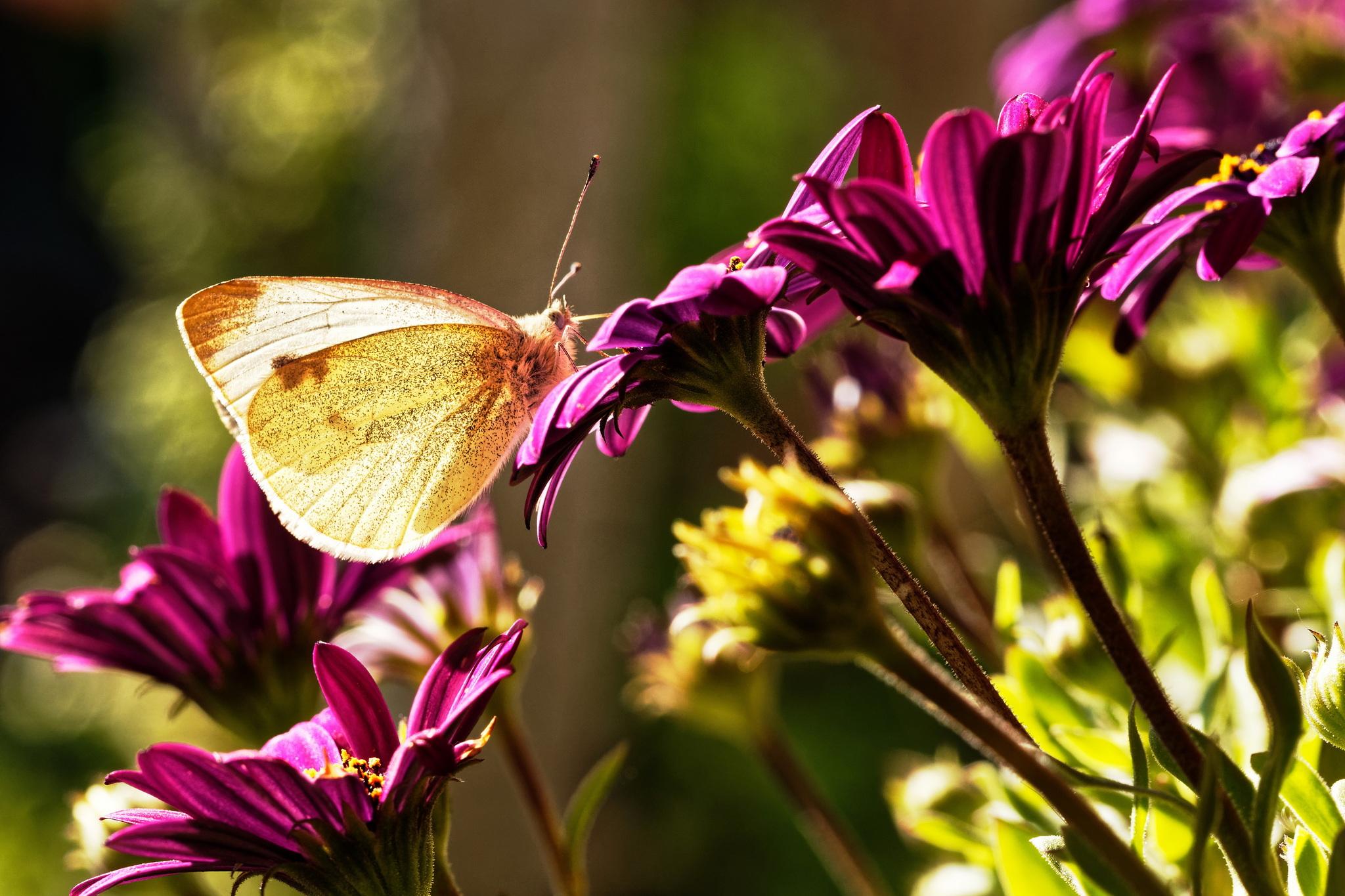Schmetterling am späten Nachmittag II