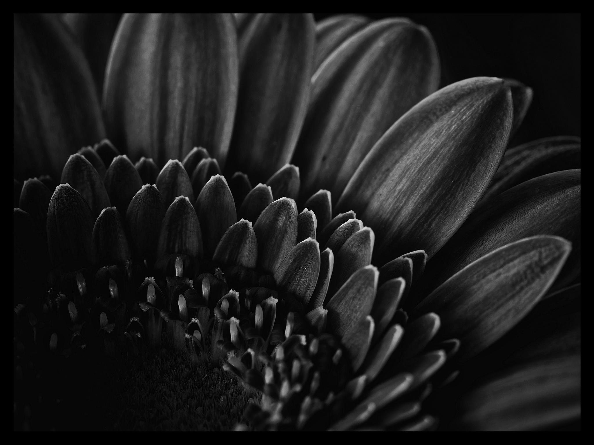Berbera Blütenblätter