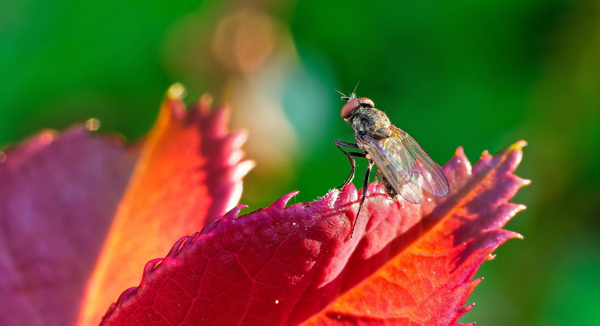 Kleine Fliege auf Blatt eines Rosenstengels