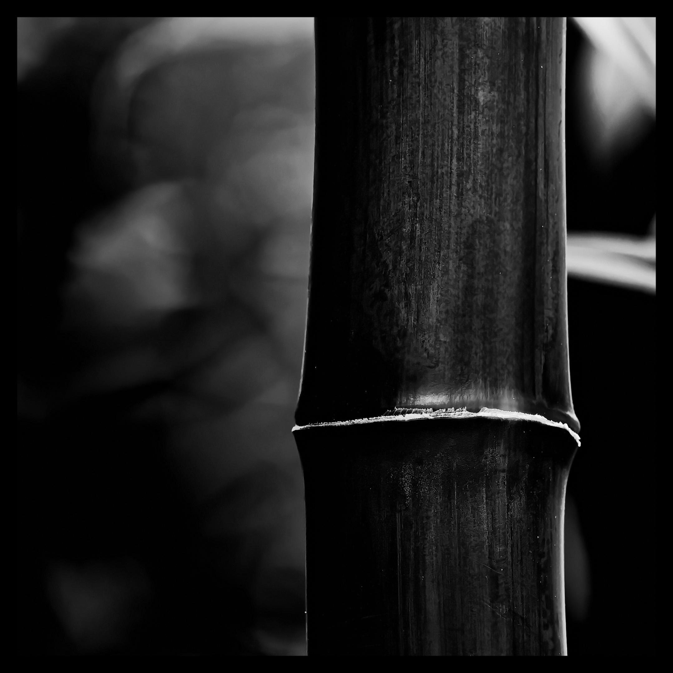 Bambus Internodie