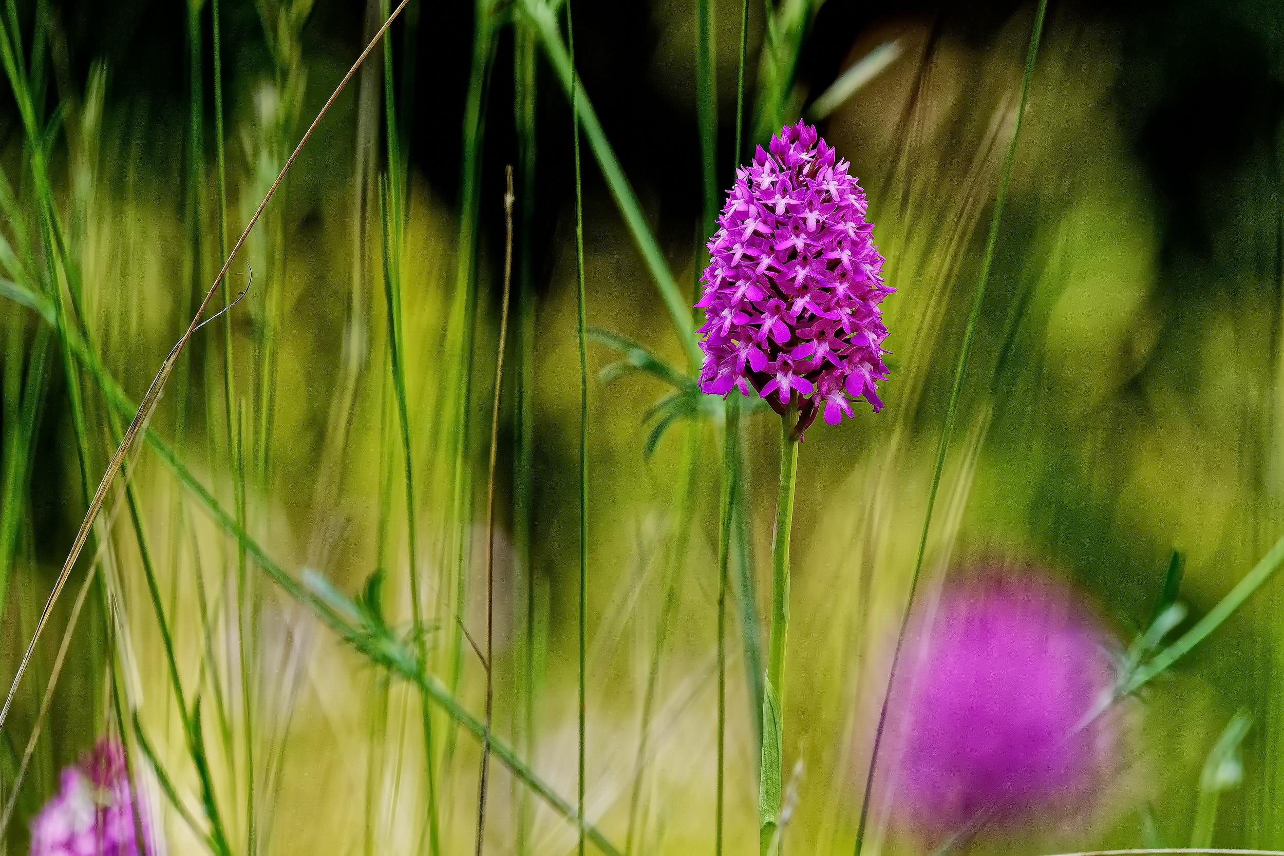 Unbekannte Wiesenblume II