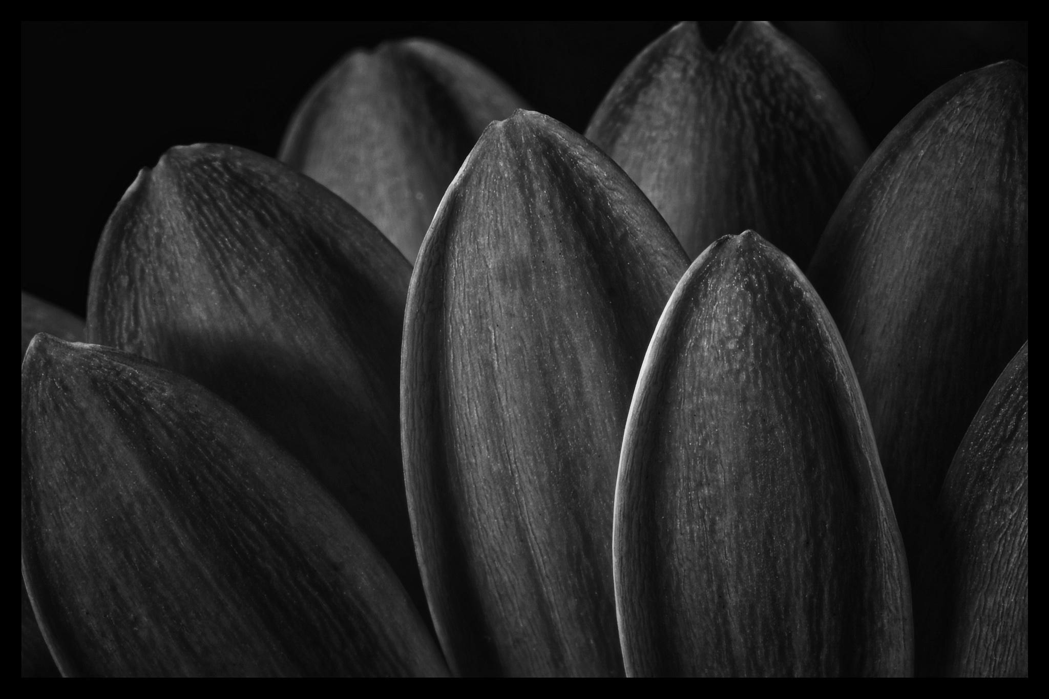 Gerbera Blütenbätter